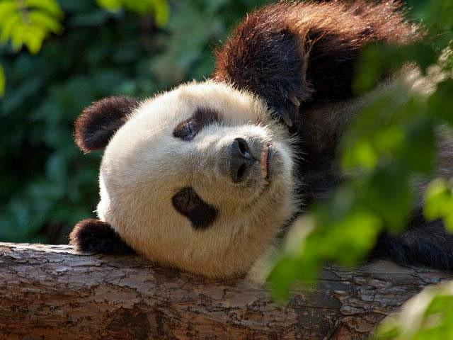 Панда в зоопарке Пекина