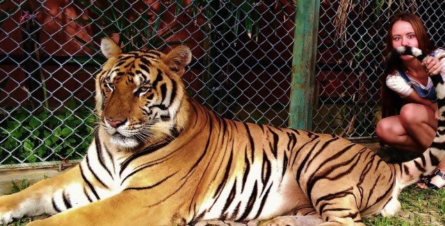 """Зоопак """"Королевство тигров"""" на Пхукете"""