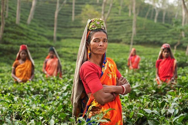 Сборщики чая в Индии