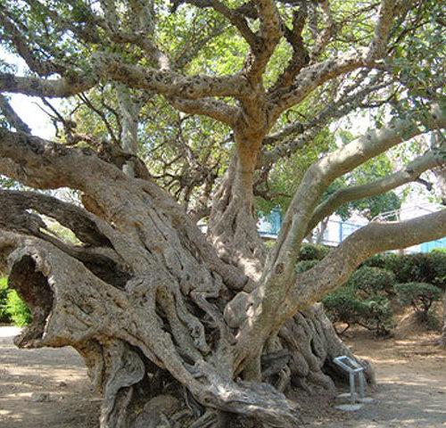 Дерево Сикомора в Нетании