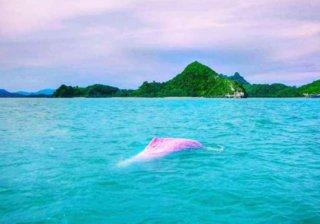 Розовые дельфины рядом с городом Каном