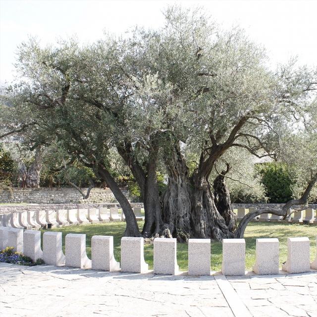 Древняя олива в Старом Баре