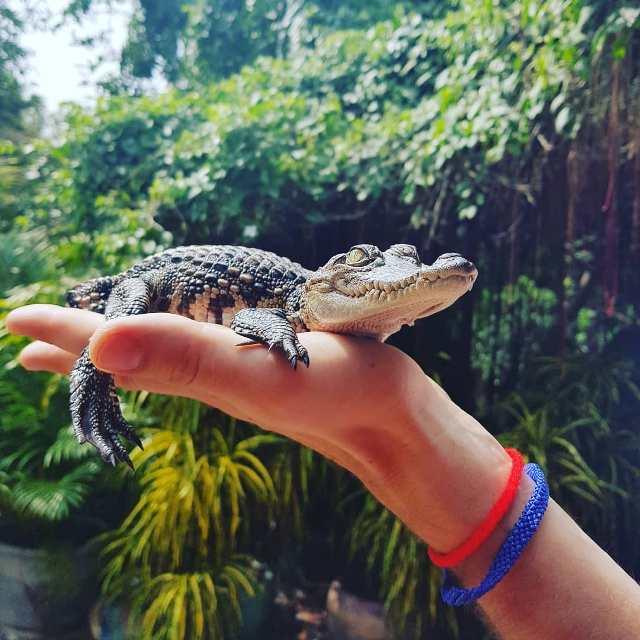 Крокодиловая ферма рядом с Бангкоком