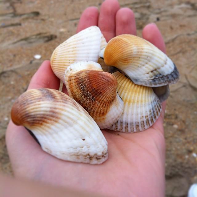 Моллюск Кардиум