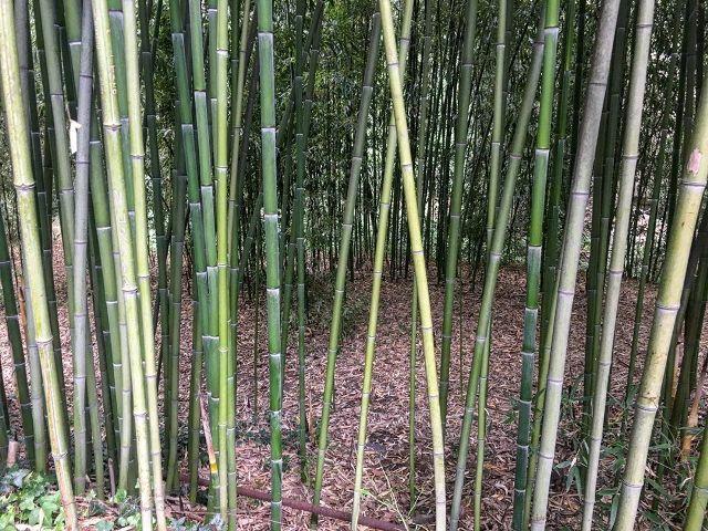 Бамбук в ботаническом саду Тбилиси