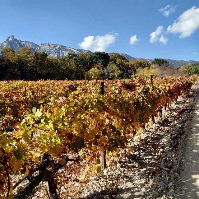 Крымские виноградники в конце осени