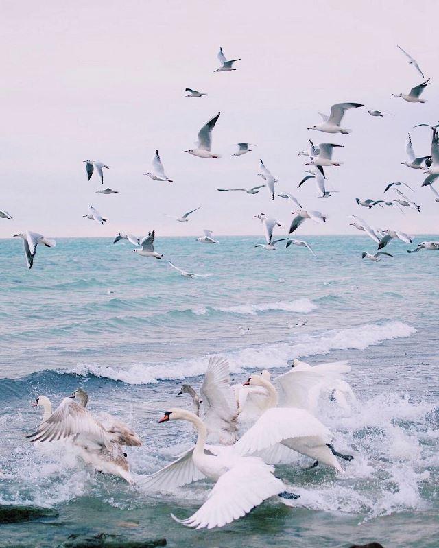 Лебеди в Приморском парке