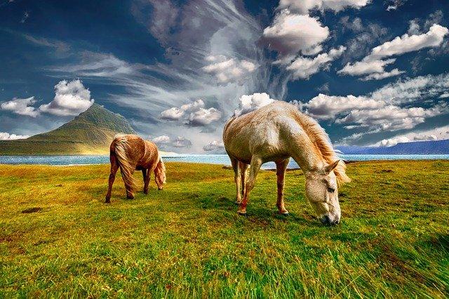 Исландские кони